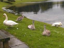 studley-swan-2