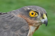 sparrowhawk-at-dubb-oct-2016-spw-1