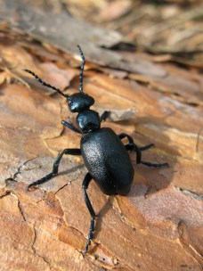 Basking oil beetle