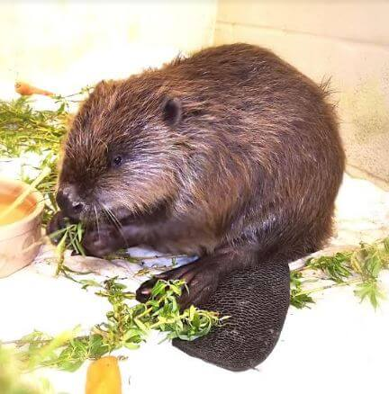 The cute creature recovering at the West Hatch centre. Image: RSPCA