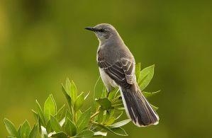 A mockingbird on a branch