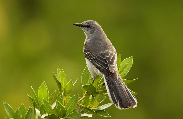 A mockingbird on a branch