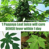 Papaya Leaf Juice helps fight Dengue