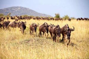 kenya-great-migration-wildebeest-on-the-move