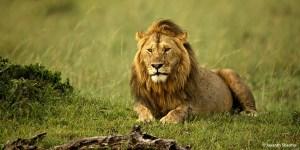 Masai Mara Safari in Kenya in3 days