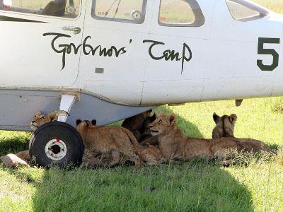 kenya_masai_mara_governors-camp_lions_under_plane_0