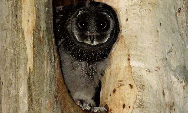 VIC GOVT PLAN WOULD DESTROY  WILDLIFE TO PROTECT LOGGING