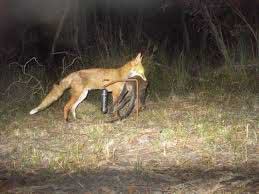 A fox is caught in the act as it passes an infrared motion sensor site. Photo courtesy of Parks Victoria
