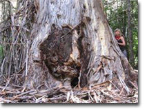 Giant tree  - Almo - Brown Mt
