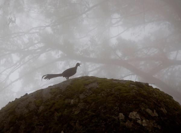 Jude Deland Lyrebird Mt Ellery