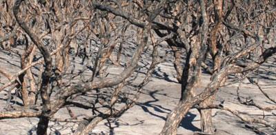Burnt coastal heath near Gnarabup Road, Gnarabup
