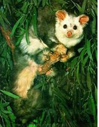 The case to stop VicForests logging critical habitat for our threatened possums
