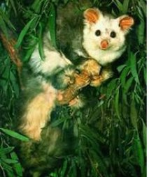 The Greater Glider, in serious decline and now listed as vulnerable.