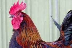Black Copper Marans Chicken