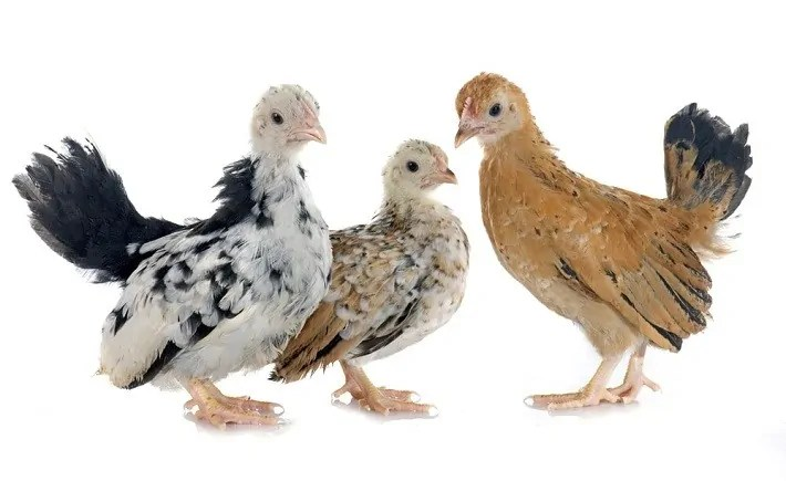 Methods on How to Sex Chicken