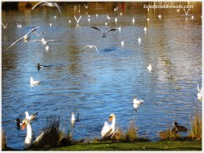 The lake is awash with birds