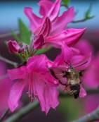 A hummingbird moth tastes the nectar of azalea next to the house yesterday afternoon.