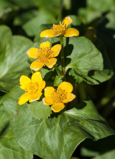 Marsh marigold blooming near the house...