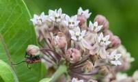 A red milkweed beetle on, uh, milkweed...
