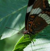 A white admiral in the buckeye tree next to our back deck.