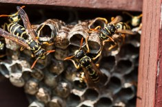 Yellow jacket wasps on their comb next to the observatory door.