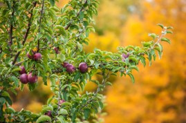 Apple laden branches and fall color at Boyer's Orchard in Monkton yesterday.