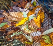 Colorful leaves, bright sunlight and rippling water create an impressionistic setting in Fargo Brook yesterday.