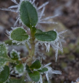 Columnar ice crystals sprout from partridge berry leaves (?) along Fargo Brook.