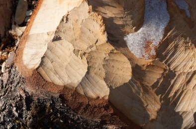 A recently felled birch tree at a beaver pond along Taft Road shows beaver chew marks and a crusting of frozen sap.