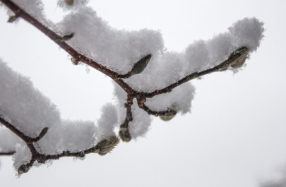 Fresh snow piles up on magnolia twigs and buds out by our back deck.