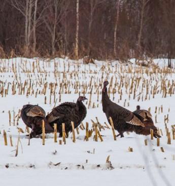 Another shot of some turkeys down near Hanksville.