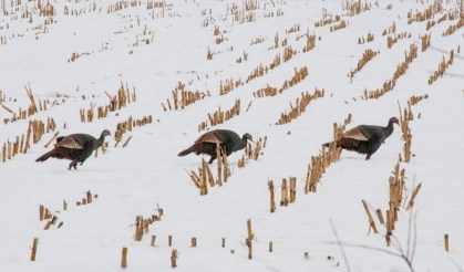 Three turkeys march across a cornfield down near the Alpaca farm.