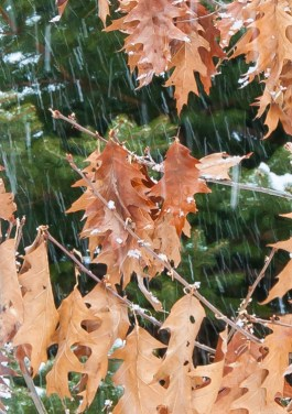 Falling snow traces squiggly lines as it falls between dried oak leaves and dark spruce in our front yard.