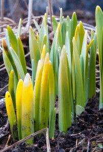 Daffodil shoots defy a sluggish spring popping out of the ground next to the house!