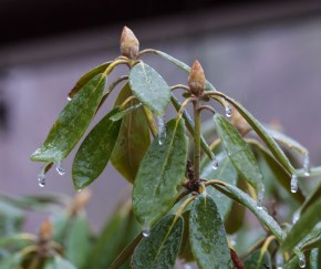 Ice coated rhododendron yesterday morning