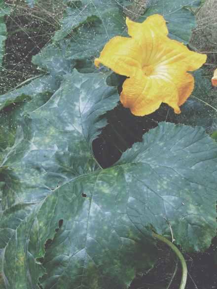 Squash Flower - East Texas Homestead