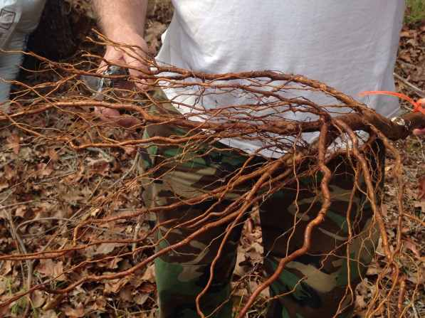 trimming the roots of the lapins cherry tree3