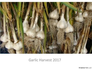 Garlic_Harvest_2017-0