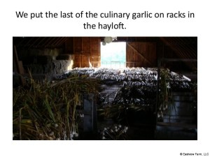 Garlic_Harvest_2017-27