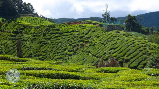 Cameron Highlands-16