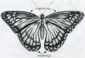 butterfly butterflies easy drawings drawing pencil draw sketches dessin sketch mariposas funny renate weird animals lūdzu still often pinturas dibujos