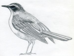 drawings bird draw easy sketches drawing step birds line pencil down sketch outline serves depending supporter moves often tail sitting