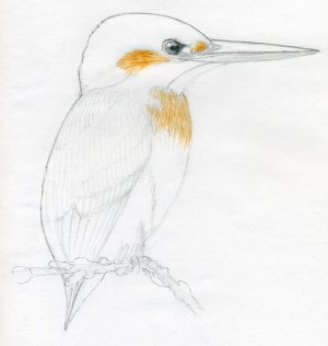 bird draw easy drawings sketches drawing pencil kingfisher realistic simple sketch enlarge