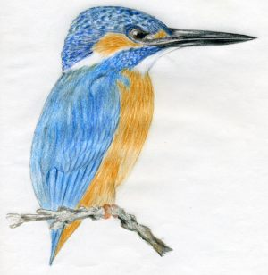 bird draw easy drawings kingfisher drawing sketches birds simple pencil beak step realistic pencils natural coloured painting shades