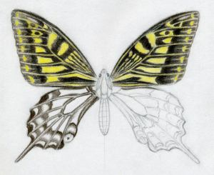 butterfly draw easy drawings drawing sketches wings pencil yellow colored surprisingly visit getdrawings enlarge