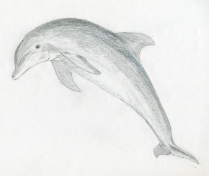 draw easy drawings dolphin sketches animals