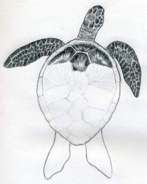 turtle draw drawings easy sketches drawing shell sketch turtles scales charcoal tips drawn shading flower tone island painting borders drawi