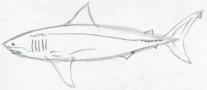 draw shark simple drawing drawings easy sketches mouth gills tail basic fins fin eyes tutorial far enlarge