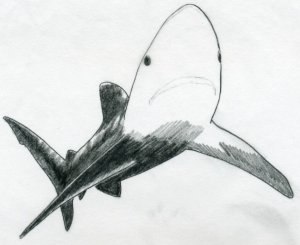 shark draw easy drawings shading sketches pencil simple belly tone sea basic shade continue dark enlarge