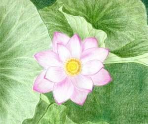 flower lotus drawings easy draw drawing simple sketches flowers leaves enlarge shapes zen 2cds meditation riley 2003 lee cyclamen observe